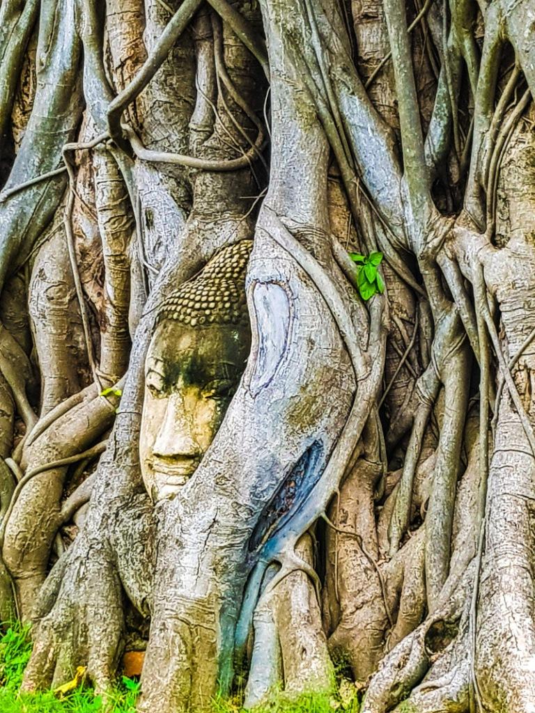 Testa del Buddha intrecciata nelle radici di un albero